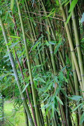 Bambus (Bambusoideae) Grünpflanze