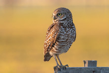 A Burrowing Owl Perched At Sun...