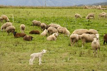 Herd Of Sheep Grazing On The P...