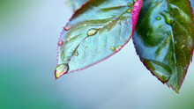 Raindrops Close Up On Rose Bus...