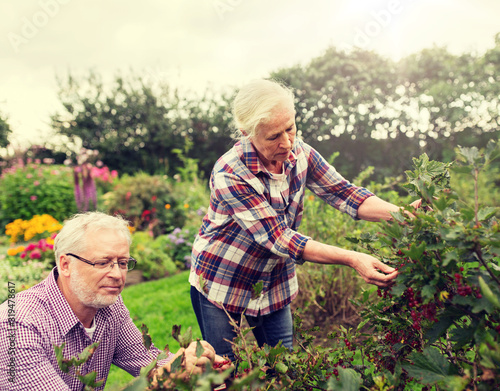 farming, gardening, old age and people concept - senior couple harvesting red cu Fototapet