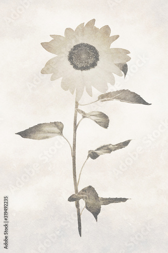 Old archival sunflower image Wallpaper Mural