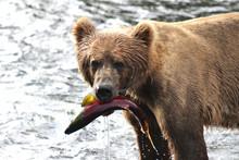 Kodiak Brown Bear With Salmon
