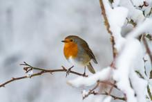 European Robin - Robin In Snow