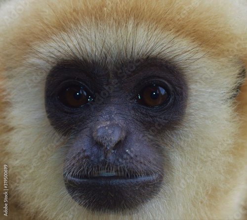 Fotomural Black-yellow face of a young gibbon close-up