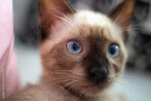 Fotografía Gato siamés