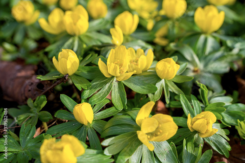 Photo Yellow flowers of winter aconite (Eranthis hyemalis), earliest flowers to appear