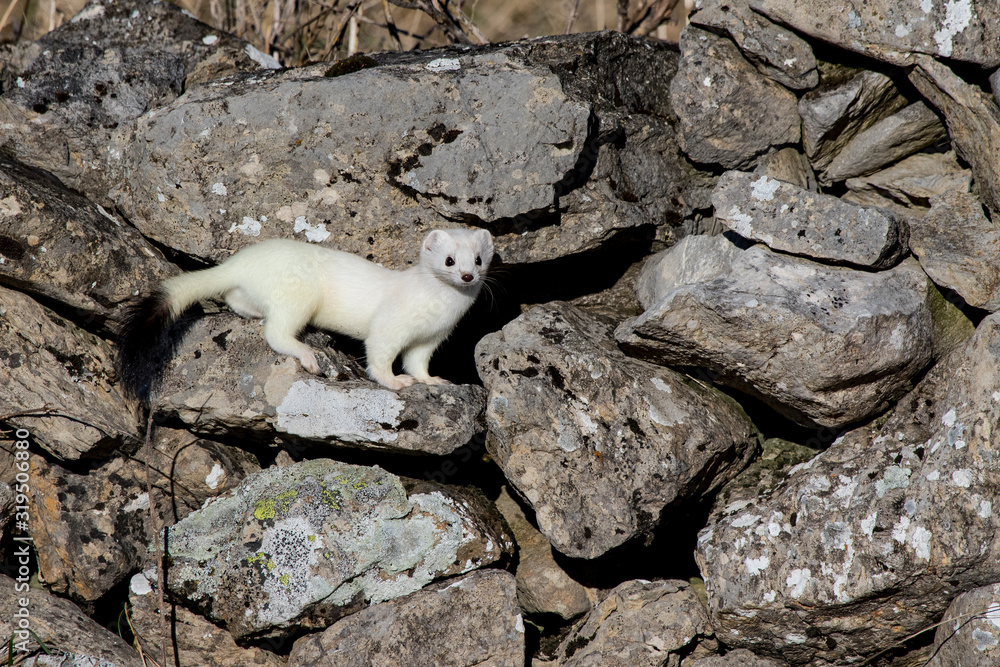 Fotografie, Obraz Ermine (Mustela erminea) with its characteristic winter white skin, perched on a