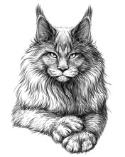 Cat. Graphic, Artistic, Hand-drawn Sketch Of A Maine Coon Cat On A White Background.