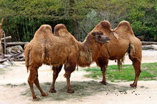 Two Bactrian Camels (Camelus B...
