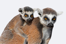 Ring-tailed Lemur (Lemur Catta...