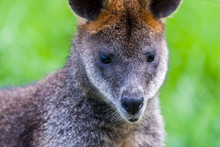 Swamp Wallaby Feeding On Some ...