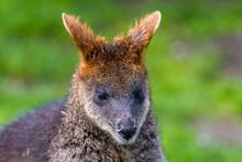 Swamp Wallaby Feeding On Some Eucalyptus Blossom.