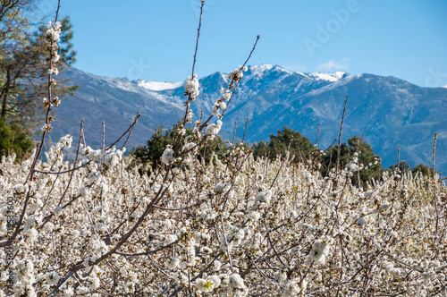 Photo Cherry trees Blossom at Jerte Valley over snowy mountains