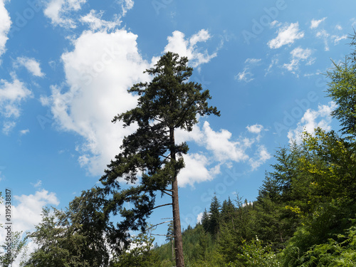 Photo (Abies alba) 45m Tallest and 270j oldest white European silver fir tree or silve