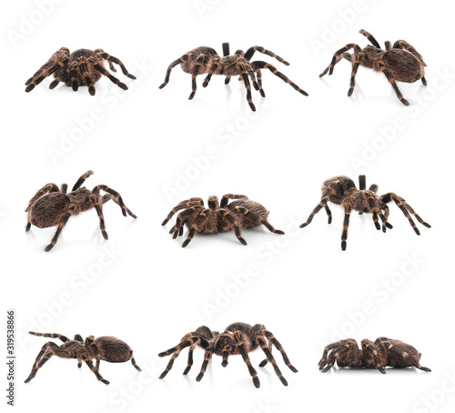 Collage of striped knee tarantula (Aphonopelma seemanni) on white background Canvas
