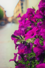 Plant Petunia Flower With Bloo...