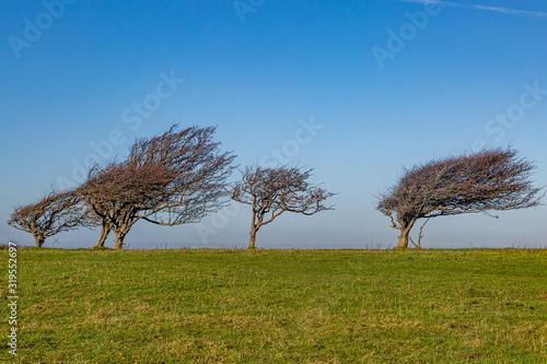 Obraz na plátně A row of windswept trees on Firle Beacon, along the South Downs Way