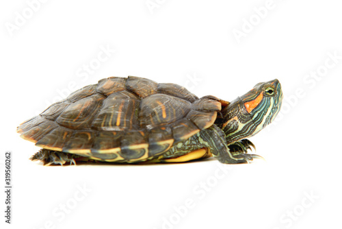 Canvas Print Red ear turtle isolated on white background
