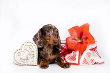 Dachshund Puppy Dog And Heart ...