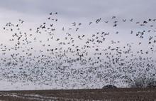 Huge Flock Of Geese