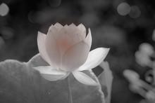Delicate Mini Lotus Flower Aga...