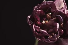 Beautiful Fresh Tulip On Black...