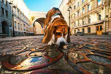 Active Dog Walking Sniffing Pa...