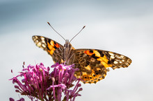 Painted Lady Butterfly Feeding From Red Valerian