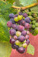 Bunch Of Purple Table Grapes R...