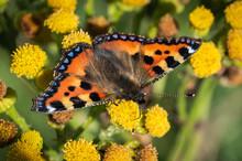 Small Tortoiseshell Butterfly On Wild Yellow Flowers