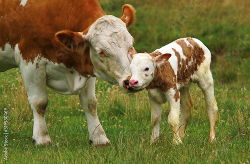 obraz PCV cow and calf