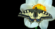 Bright Colorful Swallowtail Bu...