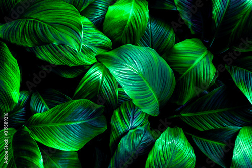 Fototapeta The concept of leaves of Cannifolium spathiphyllum, abstract dark green surface, natural background, tropical leaves obraz na płótnie