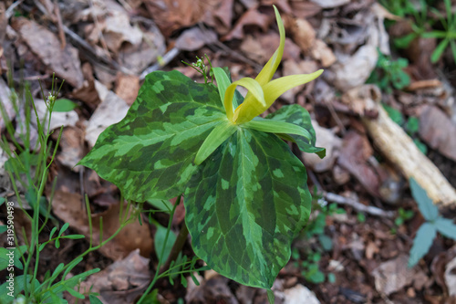 Yellow Trillium wildflower close-up