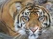 Beautiful tiger closeup