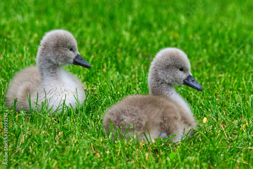 Photo Two Mute Swan (Cygnus olor) cygnets graze on a vibrant green lawn in Stratford,