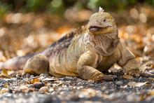 Land Iguana In Galapagos