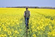 Rear View Of Man Walking By Oilseed Rape