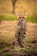 Young Cheetah Relaxing On Field