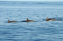 Three Dolphins Swimming In Sea