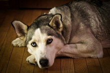 Portrait Of Siberian Husky Relaxing At Home
