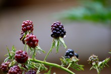 Close-Up Of Boysenberries Grow...