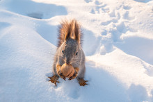 The Squirrel Sits On White Sno...