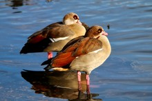 Close-Up Of Egyptian Geese At Lake