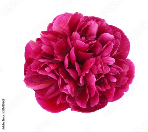 Obraz Pink peony flower - fototapety do salonu