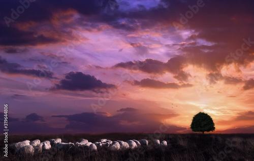 Fototapeta Flock Of Sheep On Landscape Against Sky During Sunset