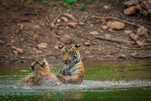 Tigers Swimming In Lake