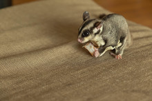 Close Up Of Sugar Glider Eatin...