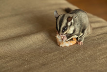 Close Up Of Sugar Glider Eating Food On The Unholstery
